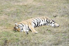 Sleeping  ussuri tiger, Safari Park Taigan, Crimea. Royalty Free Stock Photo