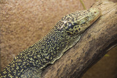 Sleeping Varanus Stock Photo