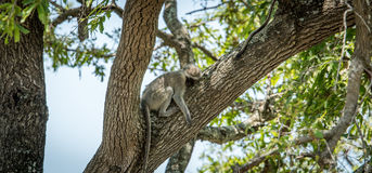 Sleeping Vervet monkey in the Kruger National Park, South Africa Royalty Free Stock Photo