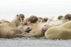 Sleeping Walruses Royalty Free Stock Photography