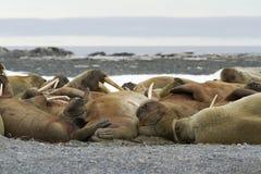 Sleeping Walruses stock images