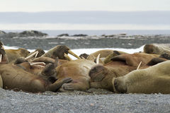 Sleeping Walruses. A group of sleeping walruses, Svalbard 2012 Stock Images