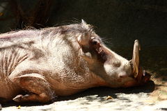 Sleeping Warthog Stock Images