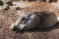 Sleeping warthog stock image