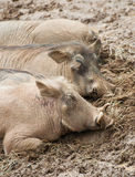 Sleeping warthogs Stock Photography