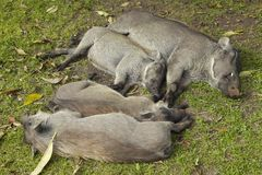 Sleeping warthogs in Tsavo National Park, Kenya, Africa Royalty Free Stock Image