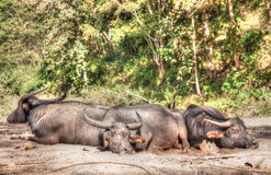 Sleeping water buffalo Stock Photography