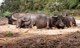 Sleeping water buffalo Royalty Free Stock Photography