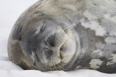 Sleeping Weddell Seal, Antarctica. Sleeping Weddell Seal portrait (Leptonychotes weddellii) with eyes closed. Cuverville Island, Antarctic Peninsula. Antarctica Royalty Free Stock Photography