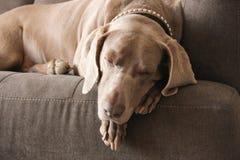 Sleeping Weimaraner Close-up with Collar Royalty Free Stock Photos