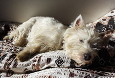 Sleeping westie Royalty Free Stock Images