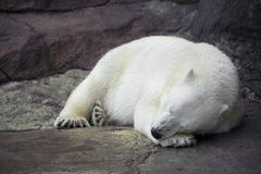 Sleeping white bear Royalty Free Stock Photo