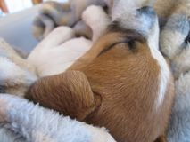 Sleeping White and Brown Puppy. stock photo
