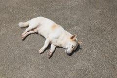 Sleeping white dog Royalty Free Stock Images