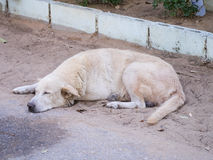 Sleeping white dog on the sand on the road side Stock Photos