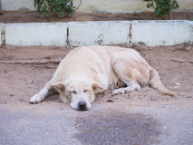 Sleeping white dog on the sand on the road side Stock Image