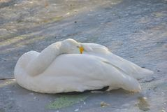 Sleeping white goose. White wild goose sleeps on ice of frozen lake Royalty Free Stock Photos