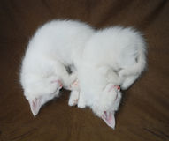 Sleeping White Kittens Royalty Free Stock Photos