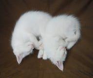 Sleeping White Kittens Royalty Free Stock Photos