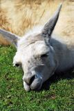 Sleeping white lama vertical portrait. Vertical portrait of a sleeping cute white lama, green grass foreground Royalty Free Stock Images