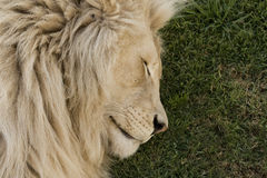 Sleeping White Lion Stock Photos