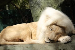 Sleeping White Lion. White lion sleeping on a tree with white mane Stock Image