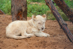 Sleeping white lion cub Royalty Free Stock Photography