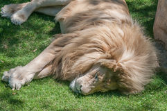 Sleeping white lion Royalty Free Stock Image