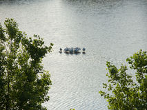 Sleeping White Pelicans Royalty Free Stock Photography