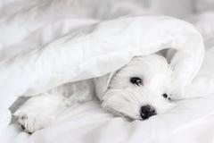 Sleeping white puppy under white blanket, sleeping Schnauzer. White puppy sleeping on a white blanket
