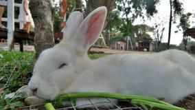 Sleeping white rabbit Royalty Free Stock Photos