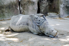 Sleeping white rhinoceros (Ceratotherium simum) Stock Images