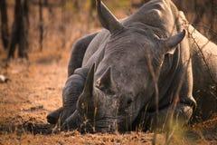 Sleeping white rhino. A white rhino sleeping at sunrise Royalty Free Stock Images