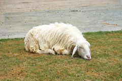 Sleeping white sheep  on grass Stock Photo