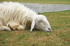 Sleeping white sheep  on grass Stock Photos