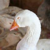 Sleeping White Snow Goose Stock Photo