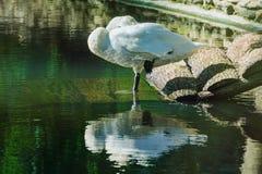 Free Sleeping White Swan Royalty Free Stock Photos - 63069658