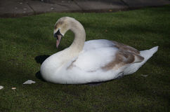 Sleeping White Swan with His Eyes Closed in Grass royalty free stock image