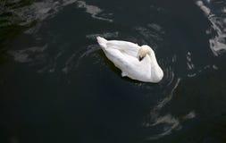 Sleeping white swan royalty free stock photos