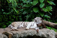 Sleeping white tiger. White Bengal tiger sleeping on the rock which his head put on the wood which surround by tropical green tree Royalty Free Stock Photo