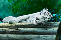 Sleeping white tiger. In a nature Stock Images