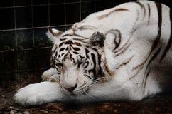 Sleeping white tiger Royalty Free Stock Images
