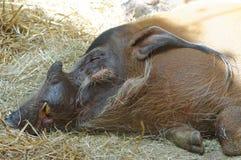Sleeping wild boar Royalty Free Stock Photography