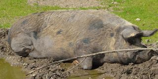 Sleeping wild boar Stock Image