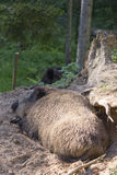 Sleeping wild boar Stock Images