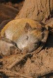 Sleeping wild boars Royalty Free Stock Photography