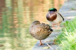 Sleeping Wild Ducks stock photos