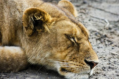 Sleeping Wild Lioness. In Serengeti National Park, Tanzania Stock Image