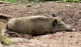 Sleeping wild pig Royalty Free Stock Image