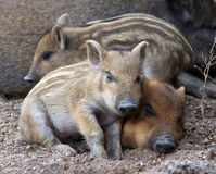 Sleeping wild piglets Stock Images